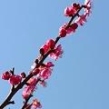 Photos: 富津公園の梅