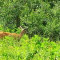 写真: Silver Lakeの鹿さん♪