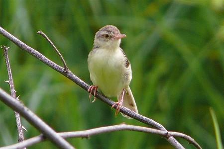 アジアマミハウチワドリ(Plain Prinia) P1070026_R