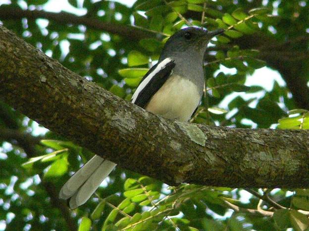 シキチョウ(Oriental Magpie Robin) P1200167_R
