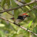 Photos: セアカハナドリ(Scarlet Flowerpecker) IMGP11514_R