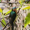 Photos: ホウアカコバシタイヨウチョウ(Ruby-Cheeked Sunbird) IMGP16224_R