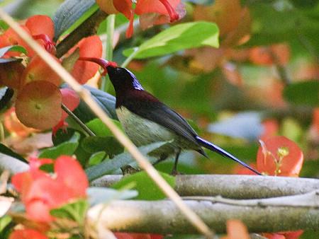 ムナグロタイヨウチョウ♂(Black-throated Sunbird) IMGP50575(LR2)_R