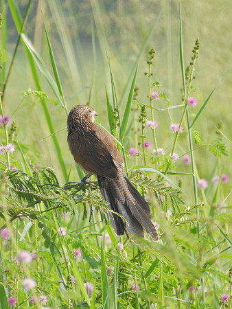 バンケン(Lesser Coucal) P1020190_Rs