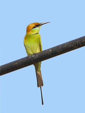 ミドリハチクイ(Green Bee-eater) P1020263_RS