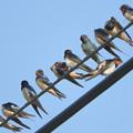 写真: ツバメ(Barn Swallow) DSCN2379_RS