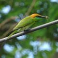 ミドリハチクイ(Green Bee-Eater) DSCN2986_RS