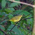写真: マユグロモリムシクイ Golden-spectackled Warbler DSCN3139_RS4