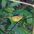 写真: マユグロモリムシクイ Golden-spectackled Warbler DSCN3138_RS4