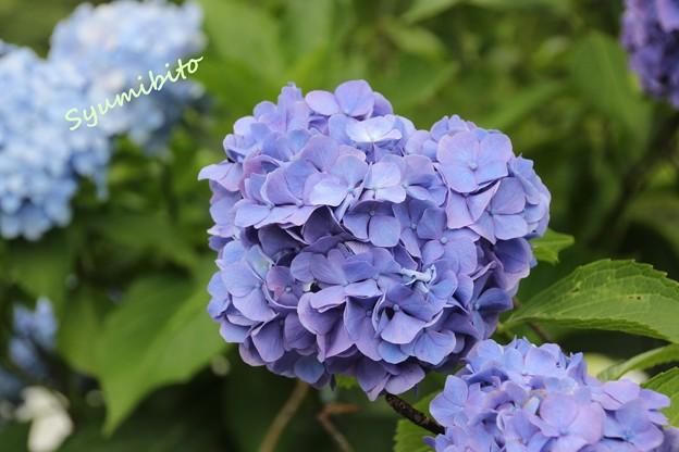紫陽花 蔵王にて(お盆)