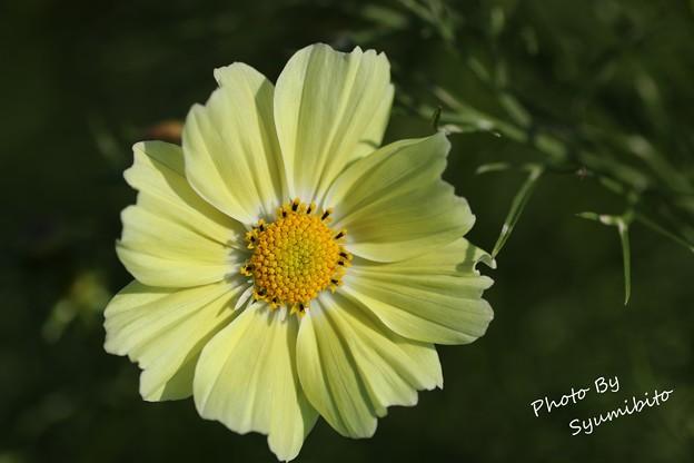 黄色いコスモス (2)