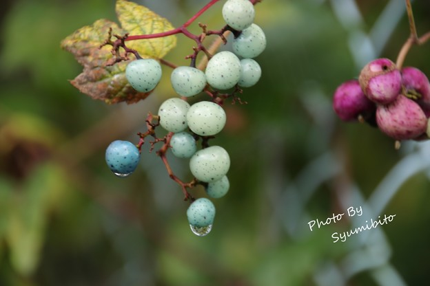 野葡萄 2