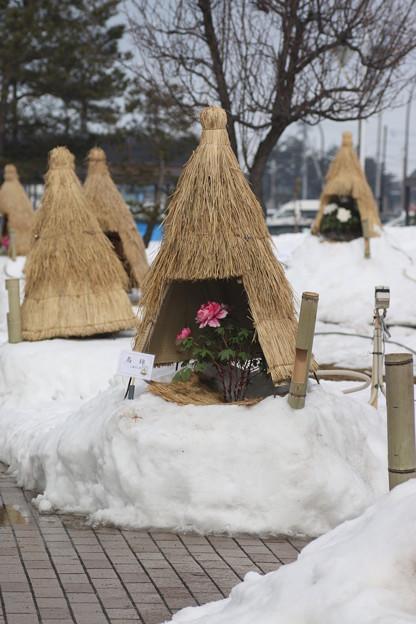 冬咲きぼたん祭り