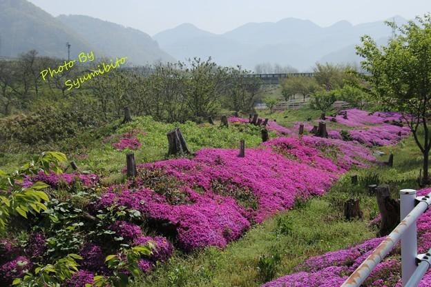 芝桜 立谷川 (3)