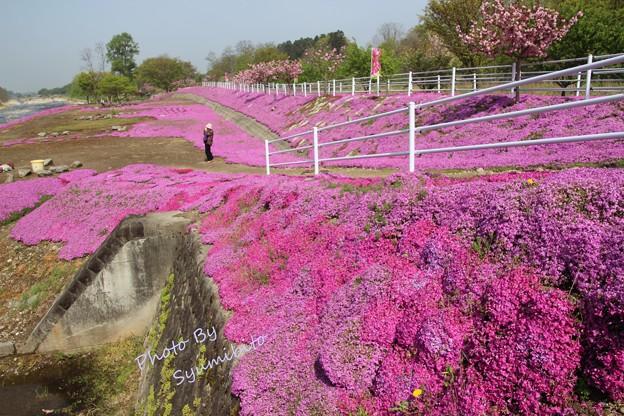 芝桜 立谷川 (長女撮影)