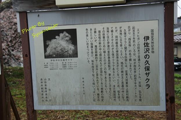 伊佐沢の久保ザクラ