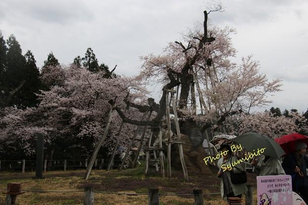 伊佐沢の久保桜 (2)