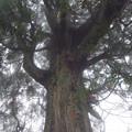 Photos: 出迎え杉