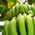 写真: 秋のバナナ