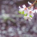 散り行く桜