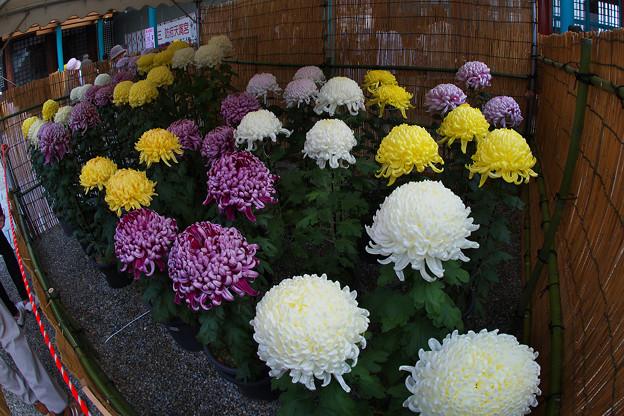 奉納菊花展1-5