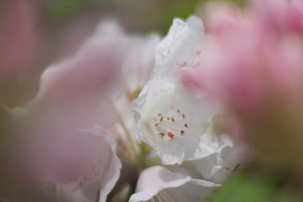 石楠花2-4
