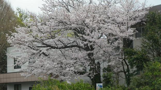 15,04,01鎌倉市役所桜-6