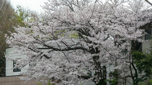 15,04,01鎌倉市役所桜-1