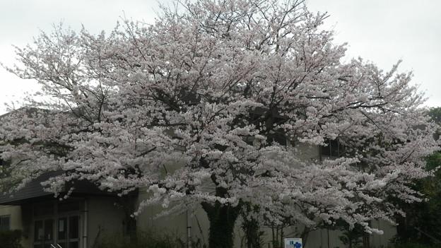 15,04,01鎌倉市役所桜-3