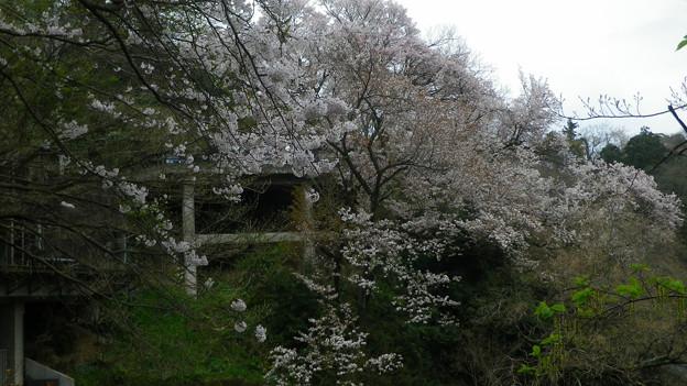 15,04,01打越山桜-6