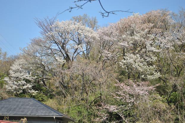 15,04,02常盤山桜
