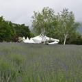 Photos: 6月22日、ラベンダー畑と白樺の木