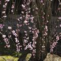 Photos: 3月3日、多聞寺の枝垂れ梅(1)