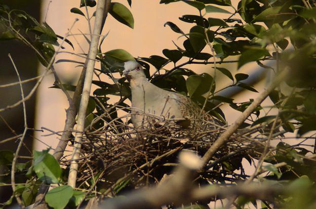 3月4日、巣を作ったキジバト
