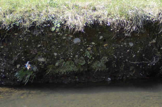3月15日、黒目川でも巣作りを始めたカワセミカップル(3)