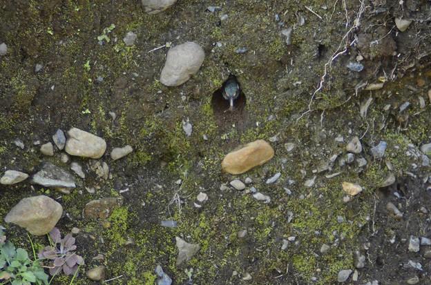 3月15日、巣穴を掘り始めたカワセミ♂(3)