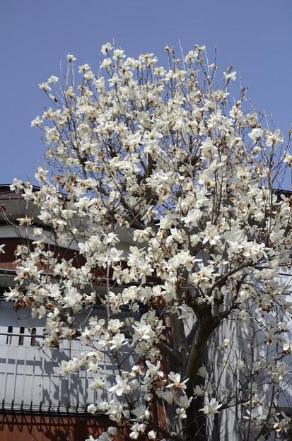 3月20日、満開の辛夷(こぶし)の花