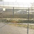 写真: 3月29日早朝、カワセミの巣のある農園