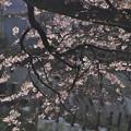 写真: 3月29日朝、落合川旧河川の桜(2)