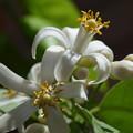 写真: レモンの花