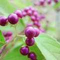 Photos: 紫の小粒