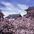 054 上田城址公園桜まつり1 by ホテルグリーンプラザ軽井沢
