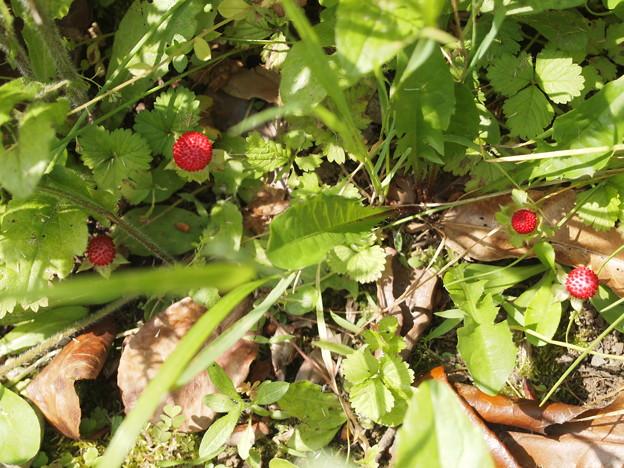 へびいちごの画像 p1_15