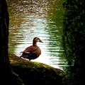 Photos: 鴨