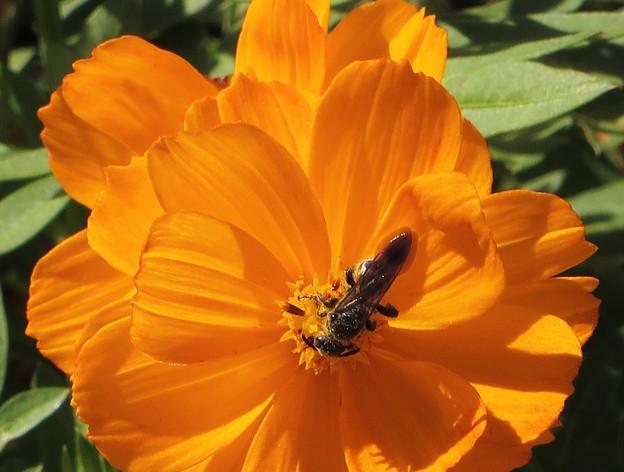 Photos: オレンジ色のコスモス(蜂)