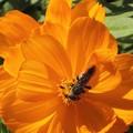 オレンジ色のコスモス(蜂)