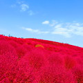 Photos: コキアの赤と青空