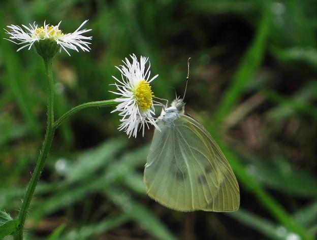 Photos: 7月に出会った蝶