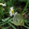 7月に出会った蝶