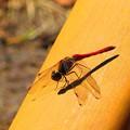 蜻蛉 赤色